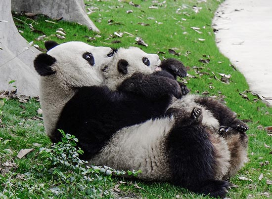Photo of Panda parent and child by ehpien on flickr. License:  Attribution-NonCommercial-NoDerivs 2.0 Generic (CC BY-NC-ND 2.0)